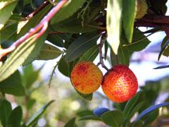 【商品名】イチゴの木 【コメント】庭木・果樹苗としても人気です。