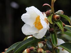 【商品名】タイワンツバキ 【コメント】冬場花が良く咲くので重宝されます。