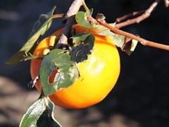 【商品名】甘柿 【コメント】甘くて食べ応えがありました、ご馳走様です。